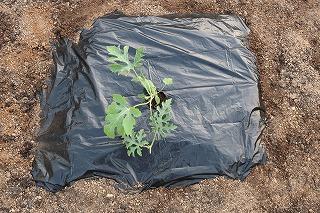 スイカの苗の植え付けの画像