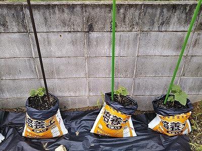 キュウリの袋栽培