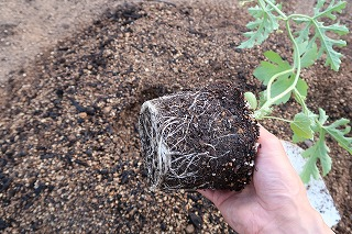 スイカ苗の植え付け画像