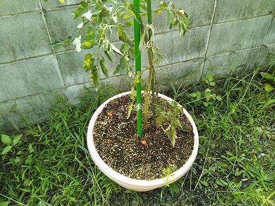 ミニトマトの鉢植え画像