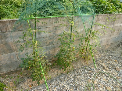 ミニトマトの露地栽培