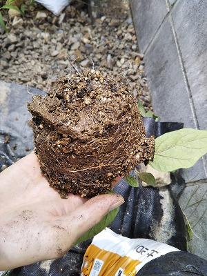 ナスの挿し木根っこ画像
