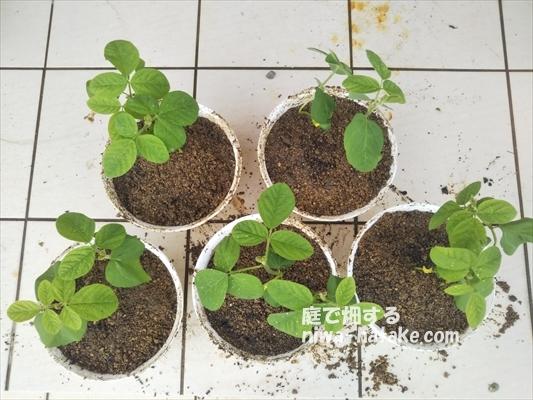 エダマメの苗を植木鉢に植え付け