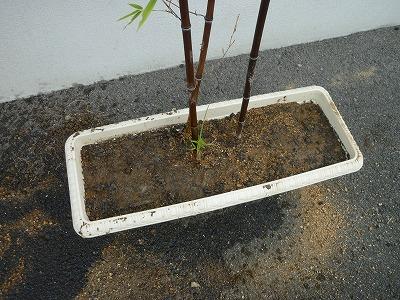 黒竹の植え替え画像