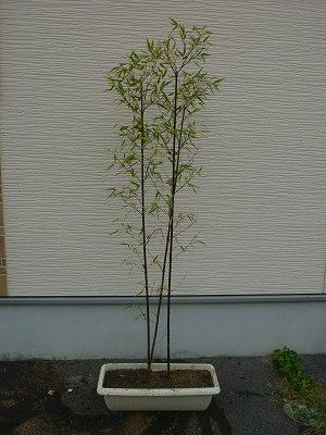 黒竹をプランターに植え替えた画像