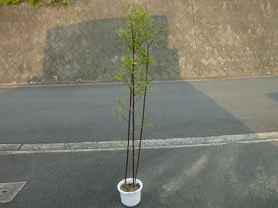 黒竹の植木鉢画像