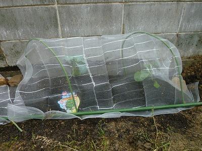 ブロッコリーに虫よけネットをかけた画像