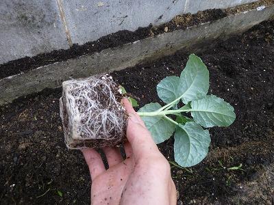 ブロッコリー苗の植え付け画像