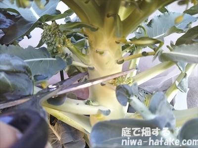ブロッコリーの収穫画像