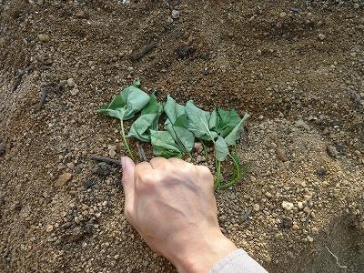 サツマイモの苗の植え付け画像