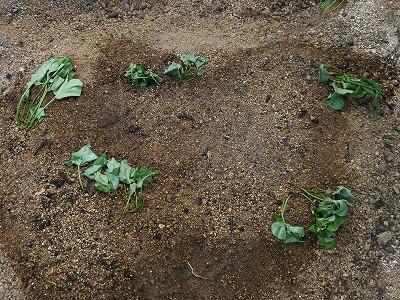 サツマイモ苗植え付け後の水やり画像