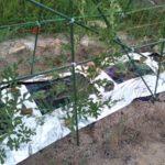 スイカの空中栽培の画像