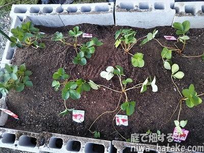 イチゴ苗植え付け後の画像