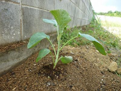 カリフラワーの苗植え付け画像