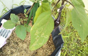 ナスの葉にハモグリバエの食害画像