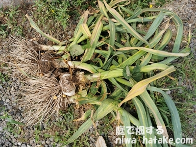 ニンニクの収穫画像