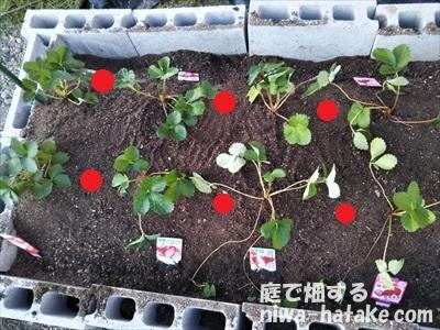 ニンニクをイチゴのコンパニオンプランツとして植え付け