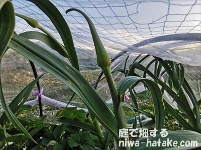 ニンニクの花芽の画像