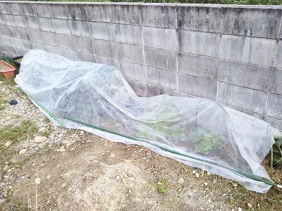 葉野菜に不織布をかけた画像