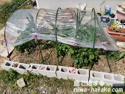 イチゴの雨除け
