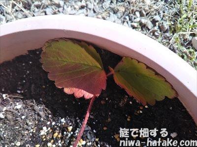 イチゴの葉が赤くなる画像
