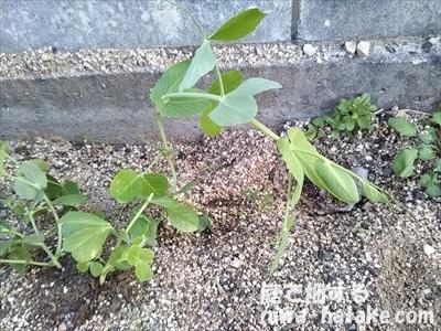 スナップエンドウの苗を植えつけた像