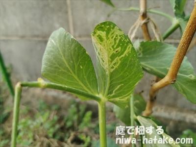スナップエンドウの葉のハモグリバエ