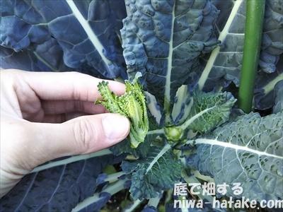 茎ブロッコリーの頂花蕾を摘み取る