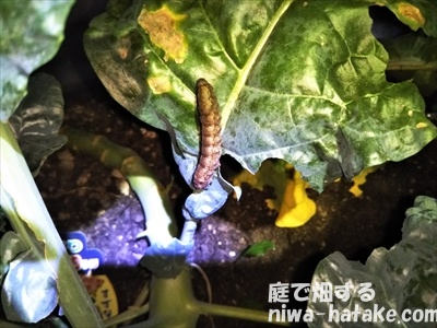 ハイマダラメイガの幼虫の画像