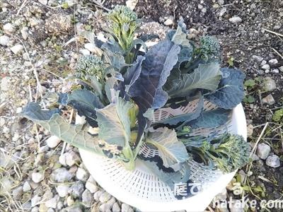 茎ブロッコリーすずなりの収穫画像