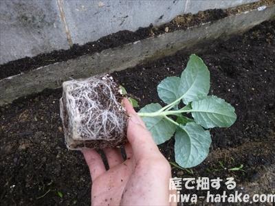 茎ブロッコリーの植え付け