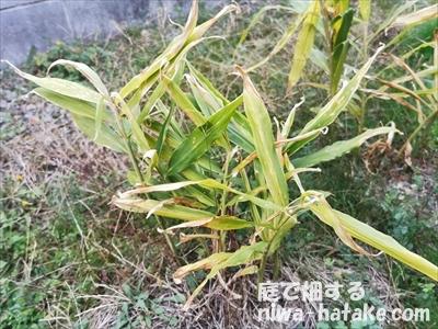 根ショウガの収穫時期