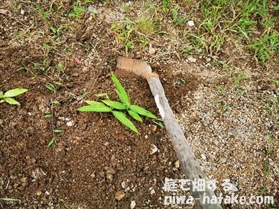 ショウガの土寄せ