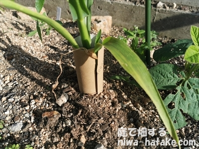 ペットボトルの芯で根切り虫の防除
