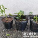 トウガラシの挿し木