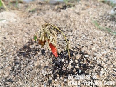 枯れたトウガラシの挿し木苗