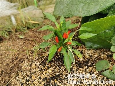 トウガラシの挿し木苗の収穫