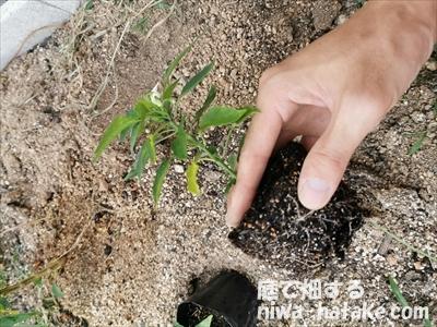 挿し木したトウガラシの苗の植え付け