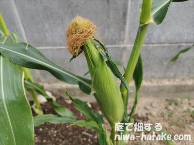 受粉後のトウモロコシの実