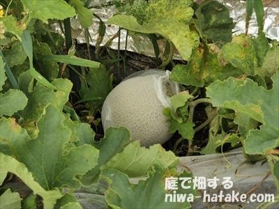 緑肉メロンの収穫前画像