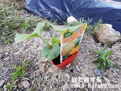 メロンのポット苗の画像