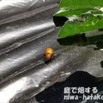 メロンの葉にウリハムシの画像