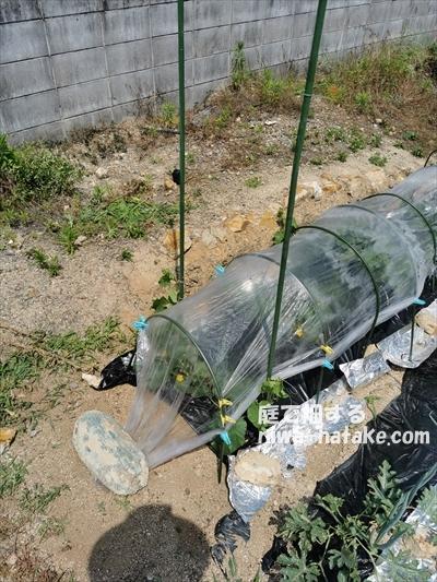 メロン苗をトンネル栽培で雨除け