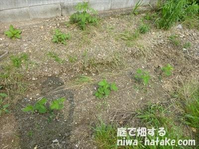 エダマメの苗の植え付け画像