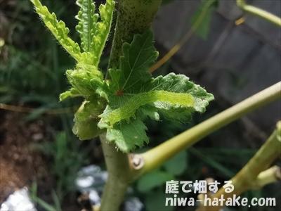 フタトヤリコヤガの若齢幼虫