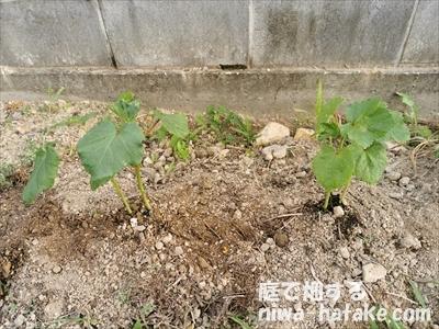 オクラの苗の植え付け