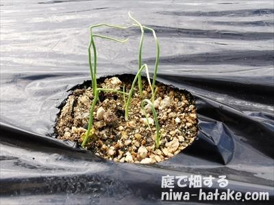 タマネギの種の発芽