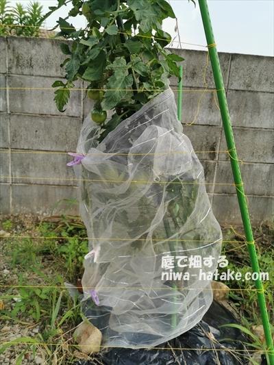 トマトを防鳥糸でカラス対策