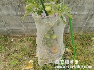 トマトを防虫ネットでカラス対策