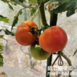トマトの収穫画像